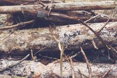 Abeto caídos na floresta Foto de Stock