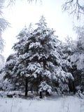 Abeto coberto com a neve Fotos de Stock