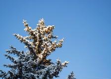Abeto coberto com a neve contra o céu azul fotos de stock