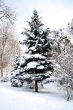 Abeto coberto com a neve em um gramado do parque fotos de stock royalty free