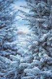 Abeto coberto de neve artificial na cidade Marselha Ramo da árvore de abeto coberto com a neve, fim acima geadas afiadas imagens de stock