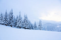 Abeto cobertos com a neve em torno do gramado foto de stock royalty free