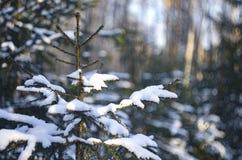 Abeto com os ramos cobertos com a neve Imagem de Stock