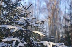 Abeto com os ramos cobertos com a neve Imagens de Stock
