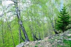 Abeto con los árboles de abedul Fotografía de archivo