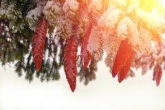 Abeto con los conos grandes, hermosos Año Nuevo Fotos de archivo libres de regalías
