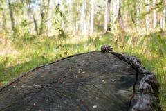 Abeto-cone em um coto de árvore Imagens de Stock