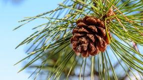 Abeto-cone em uma árvore com o céu azul no fundo fotos de stock