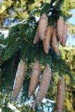 Abeto-cones Imagem de Stock Royalty Free