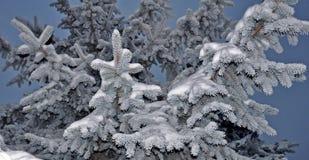 Abeto congelado fotografia de stock
