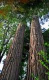 Abeto da floresta primária que está alto Imagens de Stock
