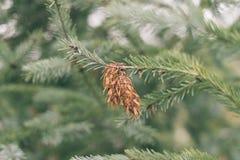 Abeto de Brown unos en una rama de un árbol de pino foto de archivo libre de regalías