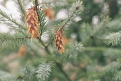 Abeto de Brown unos en una rama de un árbol de pino fotografía de archivo