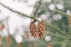Abeto de Brown unos en una rama de un árbol de pino foto de archivo