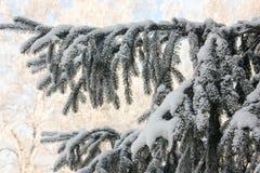 Abeto de la Navidad Ramas verdes Un manojo Foto de archivo