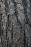 Abeto de la textura en el bosque Imágenes de archivo libres de regalías