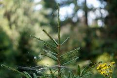Abeto del bosque enredado en el web fotos de archivo