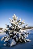 Abeto del invierno Imagenes de archivo