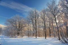 Abeto frío de la nieve del paisaje del bosque del invierno Foto de archivo libre de regalías