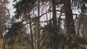 Abeto hermoso en el resplandor de una puesta del sol del otoño almacen de metraje de vídeo
