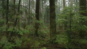 Abeto, movimento da câmera da floresta úmida filme