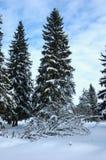 Abeto na floresta do inverno Foto de Stock
