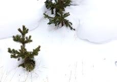 Abeto na neve fotografia de stock