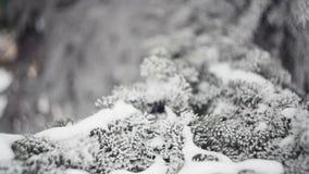 Abeto nevado en un primer del parque del invierno metrajes