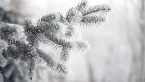 Abeto nevado en un primer del parque del invierno almacen de video