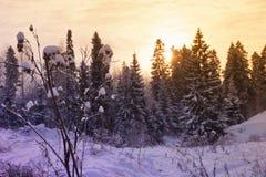Abeto nevoso hermoso del paisaje del bosque del Año Nuevo de la Navidad Imagen de archivo libre de regalías