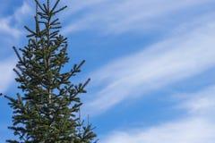 Abeto siberiano en la izquierda, contra la perspectiva del cielo con el espacio para el texto Fotos de archivo libres de regalías
