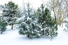 Abeto Snow-covered Fotos de Stock Royalty Free