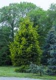 Abeto verde del flor Imagenes de archivo
