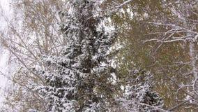 Abeto verde grande en nieve Abeto nevado hermoso grande en el invierno Ramas nevadas de un abeto grande almacen de video