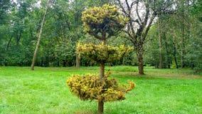 Abeto verde na árvore do fundo e abeto da grama grampeado fotos de stock
