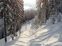 Abeto vermelho alpino na neve Imagens de Stock