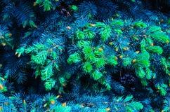 Abeto vermelho azul Fotos de Stock Royalty Free