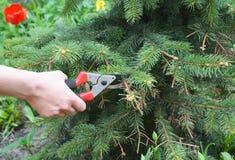 Abeto vermelho azul de poda Ramo de árvore do corte do jardineiro com secateu do desvio Fotos de Stock