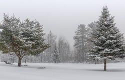 Abeto vermelho coberto de neve e pinho Imagens de Stock Royalty Free