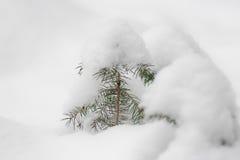 Abeto vermelho da neve Foto de Stock
