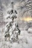 Abeto vermelho do inverno Fotos de Stock Royalty Free