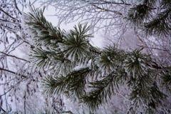 Abeto vermelho na neve Fotografia de Stock