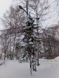 Abeto vermelho na neve fotografia de stock royalty free