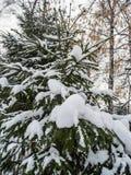 Abeto vermelho novo sob a neve recentemente caída em Novosibirsk, Rússia fotos de stock
