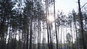 Abeto vermelho sem tocar verde de Forest Pine Trees Fairy Forest Teste padr?o da floresta vídeos de arquivo