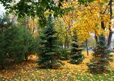 abeto vermelho sempre verde cercado no outono Fotos de Stock Royalty Free