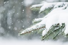 Abeto vermelho sempre-verde do Natal com neve fresca contra um fundo da neve no bokeh Fundo bonito da estação do inverno foto de stock