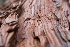 Abeto vermelho velho do bordo do cedro do pinho antigo do fundo da textura da casca do pinho Fotografia de Stock Royalty Free