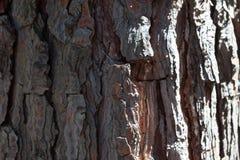 Abeto vermelho velho do bordo do cedro do pinho antigo do fundo da textura da casca do pinho Imagens de Stock