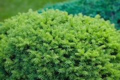 Abeto vermelho verde que groving no jardim fora fotos de stock royalty free